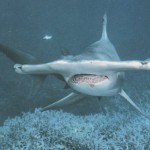 Le requin marteau: un animal extraordinaire