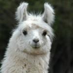 Le lama : un animal plus sympa qu'il n'y paraît