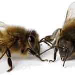 Les principales races d'abeilles d'élevage en France