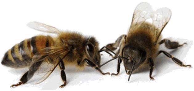 abeilles